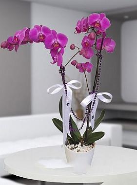 İkili pembe orkide