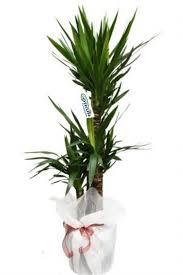 3 Lü Yucca